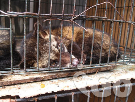 640px-Luwak (civet cat) in cage